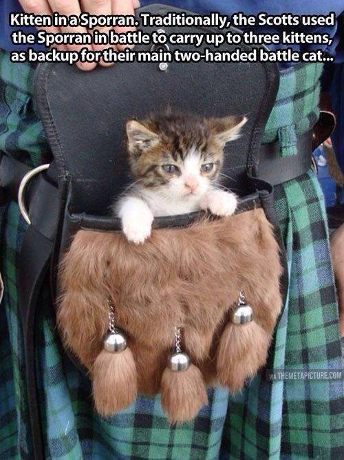 A fine specimen of the mighty Scottish Battle-Kitten